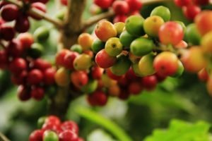The Propagation of the Coffee Plant